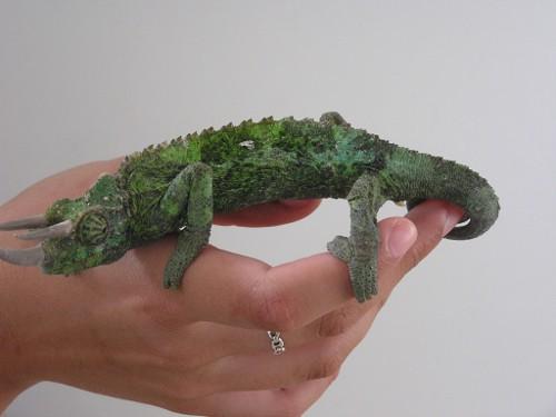 Medicina de reptiles: cap.2: Identificación de especies: Saurios o ...