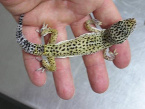 Medicina de reptiles: Cap.2. Identificación de especies: Saurios o ...