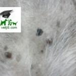 macula perro