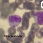 Mórula de Ehrlichia spp en el citoplasma de una célula mononuclear. Frotis de sangre teñida con Diff-Quick