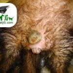 hiperestrogenismo huron veterinarios