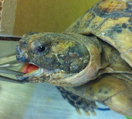 ¿Mi tortuga tiene una infección de la piel?